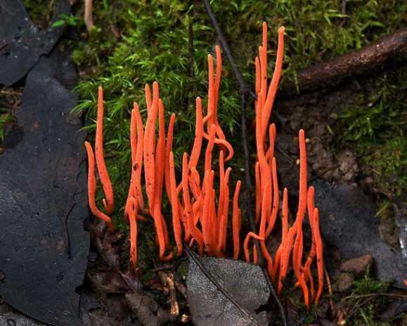 Types of Mushrooms- Coral Fungi
