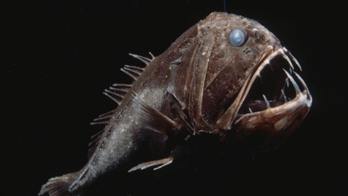 Deep Sea Creatures Fangtooth Fish