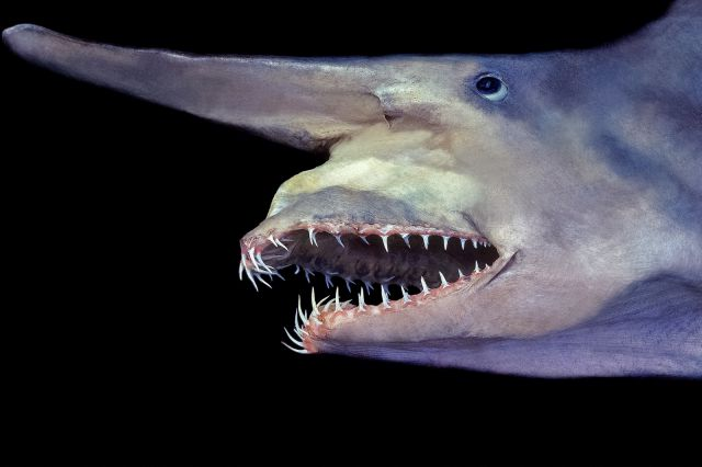 Deep Sea Creatures Goblin Shark