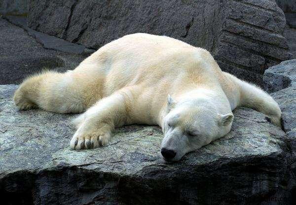 Funny Hilarious Lazy Animals Polar Bear 0
