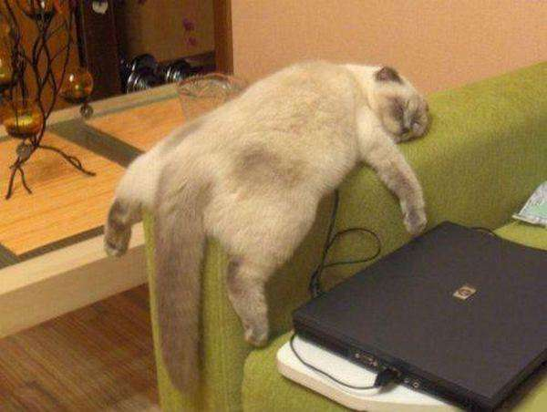 Funny-Hilarious-Lazy-Animals-cat-2