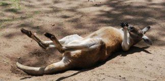 Funny Hilarious Lazy Animals kangaroo