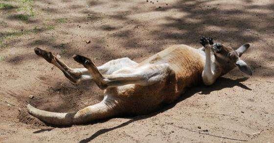 Funny Hilarious Lazy Animals kangaroo