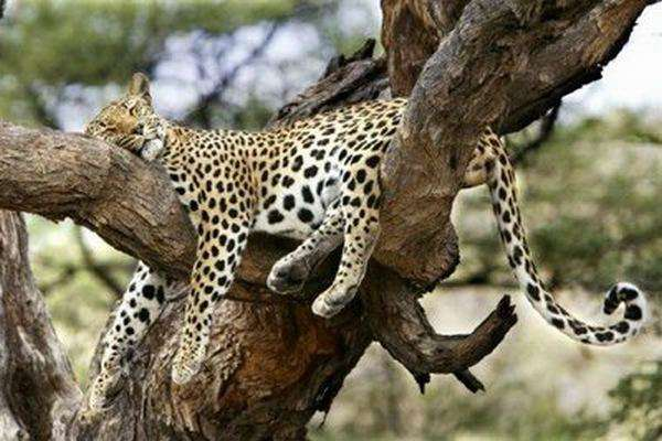 Funny-Hilarious-Lazy-Animals-leopard