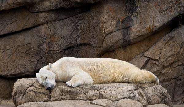 Funny Hilarious Lazy Animals polar bear