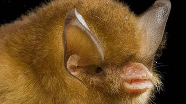 Cuban-Greater-Funnel-Eared-Bat