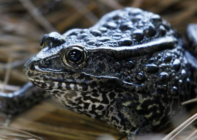 Dusky-Gopher-Frog