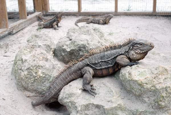 Jamaican-Rock-Iguana