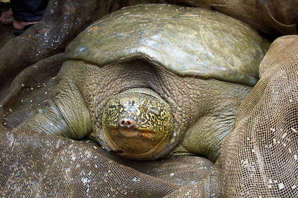 Red-River-Giant-Softshell-Turtle
