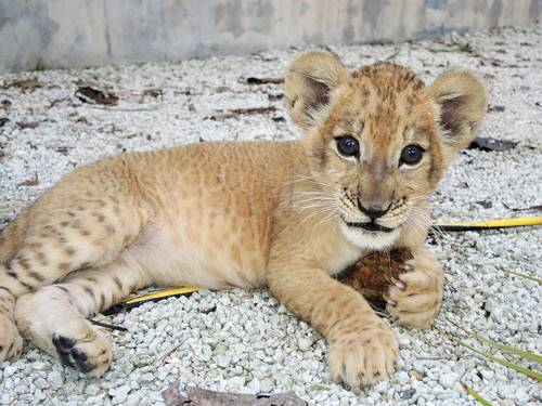 Cute-Lion-Cubs-1