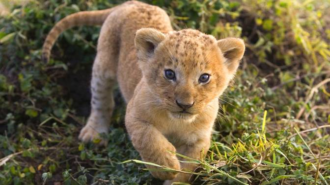 Cute-Lion-Cubs-2