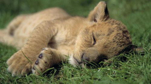 Cute-Lion-Cubs-4