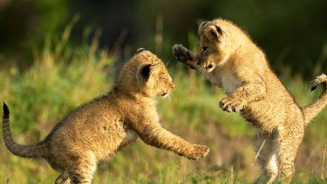 Cute-Lion-Cubs-5