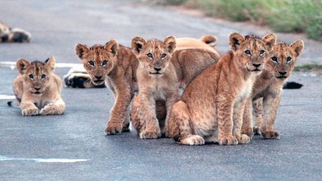 Cute-Lion-Cubs-6