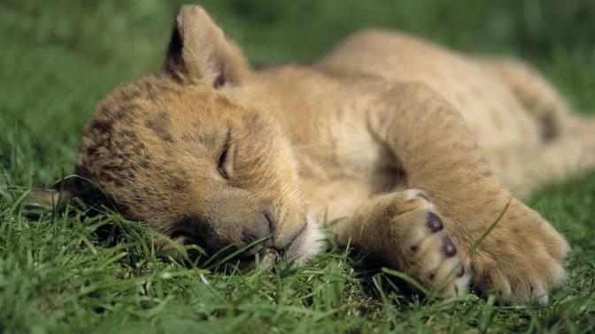 Cute-Lion-Cubs-7