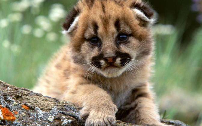 Cute-Lion-Cubs-8