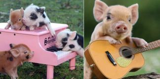 Cute-Pigs-324x160