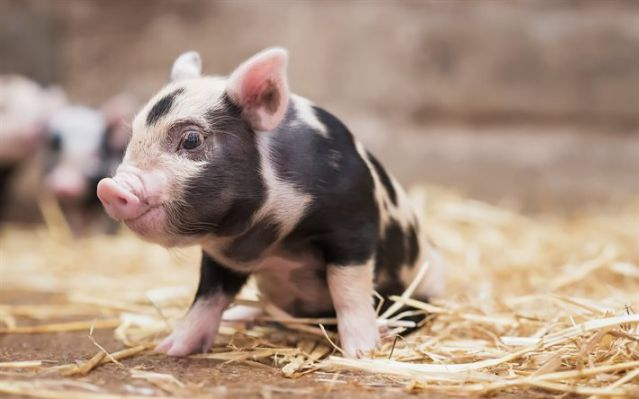 Cute-Pigs-Adorable-Pictures-1