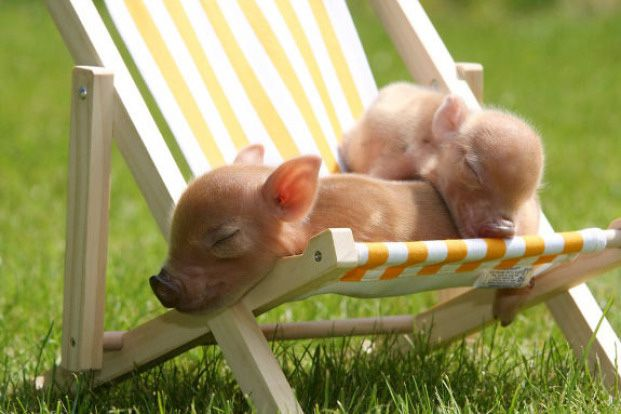 Cute-Pigs-Adorable-Pictures-10