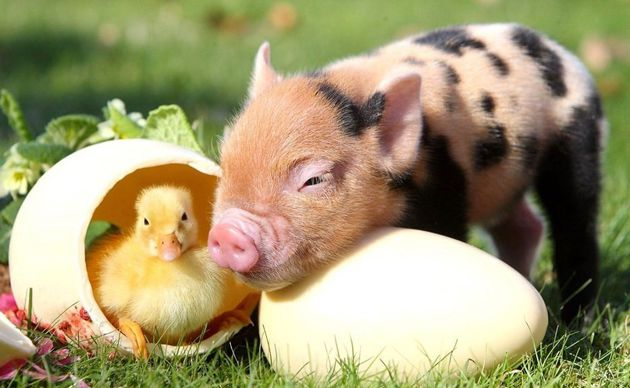 Cute-Pigs-Adorable-Pictures-3