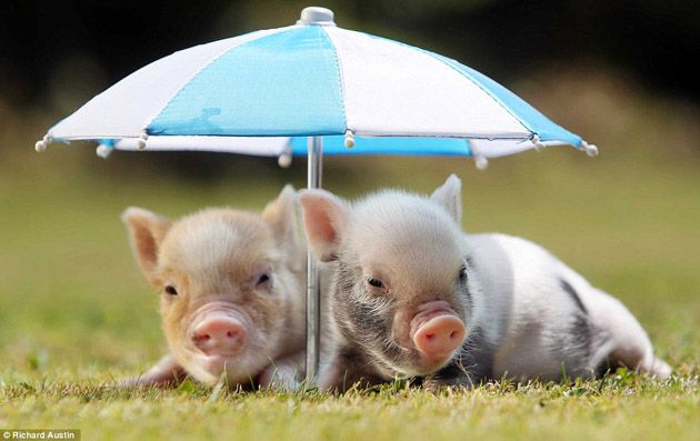 Cute-Pigs-Adorable-Pictures-4