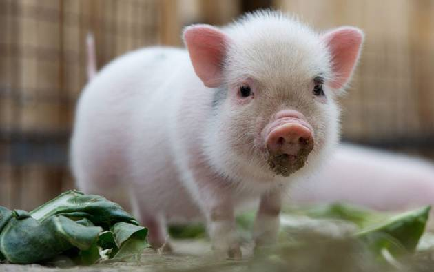 Cute-Pigs-Adorable-Pictures-6