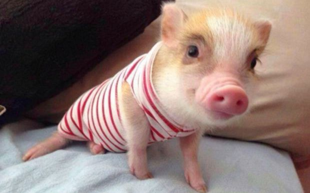 Cute-Pigs-Adorable-Pictures-7