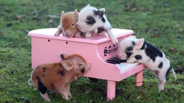Cute-Pigs-Adorable-Pictures-9