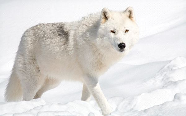 Beautiful-Animal-Arctic-Wolf
