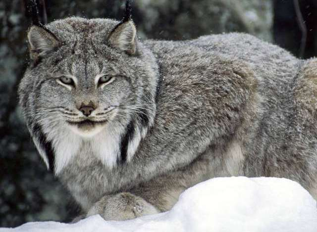 Beautiful-Animal-Lynx