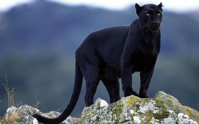 Beautiful-Animal-Panther