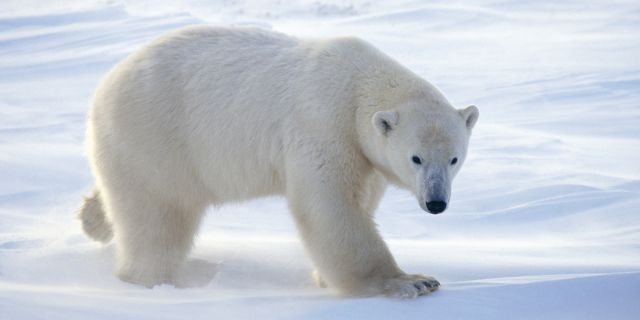 Beautiful-Animal-Polar-Bear