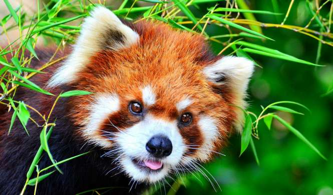 Top 10 most beautiful animals in the world wild domestic animals beautiful animal red panda voltagebd Image collections