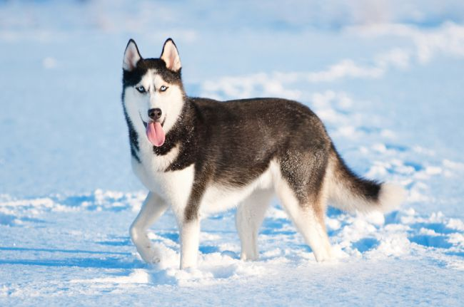 Beautiful-Animal-Siberian-Husky