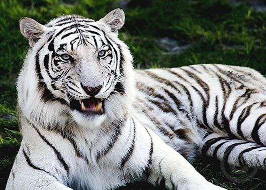 Beautiful-Animal-White-Tiger