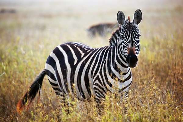Beautiful-Animal-Zebra