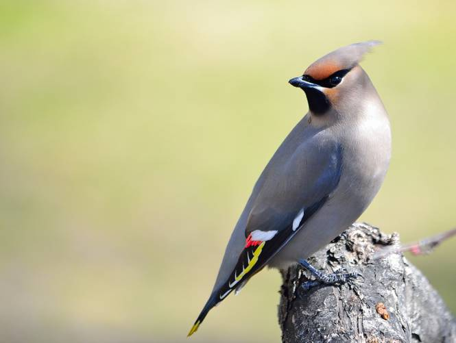 Beautiful-Birds-Bohemian-Waxwing
