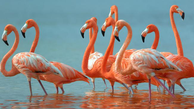 Beautiful-Birds-Flamingo