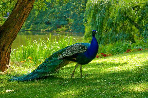 Beautiful-Birds-Peacock