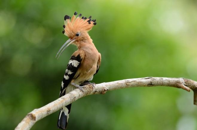 Beautiful-Birds-The-Hoopoe