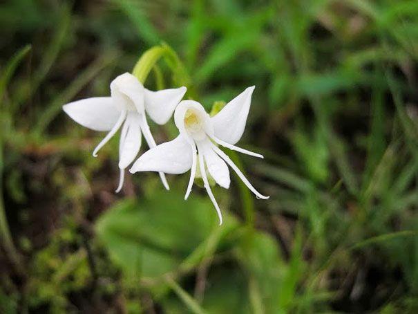 Angel-Orchid-Habenaria-Grandifloriformis