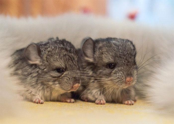 Cute-Chinchillas-Rodents-1