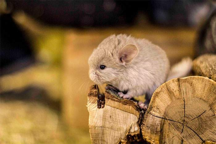Cute-Chinchillas-Rodents-10