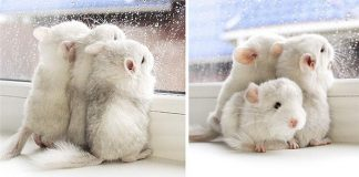 Cute Chinchillas Rodents