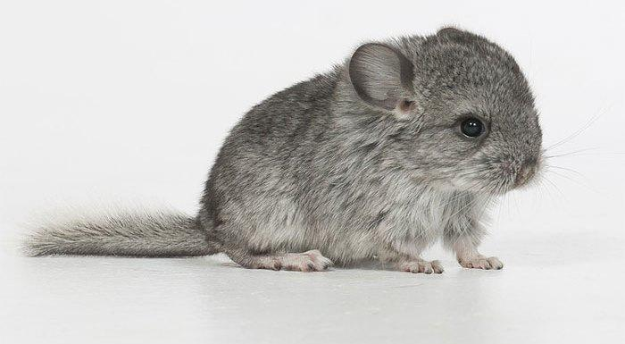Cute-Chinchillas-Rodents-2