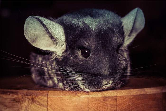Cute-Chinchillas-Rodents-3