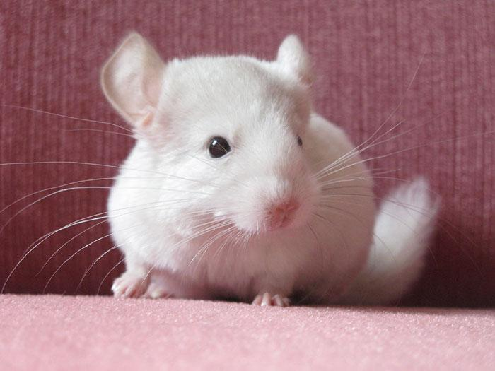 Cute-Chinchillas-Rodents-4