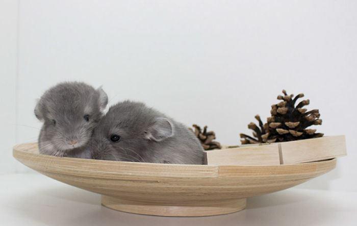 Cute-Chinchillas-Rodents-5