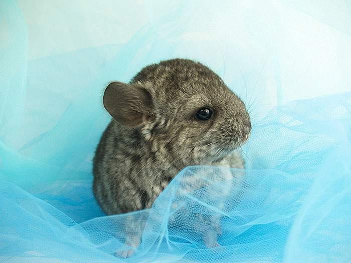 Cute-Chinchillas-Rodents-6