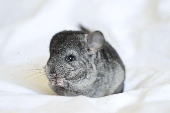 Cute-Chinchillas-Rodents-7